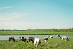 krów łąki wiosna Fotografia Stock