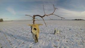 Krów czaszek kość na śniegu na rolnictwa polu z nieżywym drzewem i chmurami, czasu upływ 4K zbiory wideo