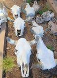 Krów czaszki Dla sprzedaży - Zdjęcie Stock