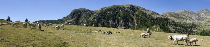 Krów i łydek target326_1_ Zdjęcie Stock