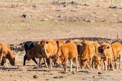 Krów jeść Zdjęcia Stock