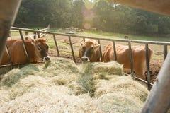 Krów jeść Obrazy Stock