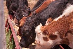 Krów jeść Zdjęcie Stock