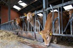 krów karmy stajenka obrazy royalty free