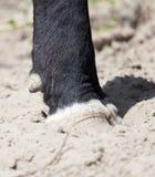 Krów kopyta Zdjęcie Stock
