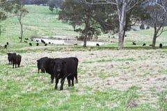 Krów ono wpatruje się Fotografia Royalty Free