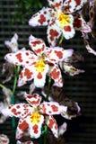 Krów orchidee Zdjęcie Stock