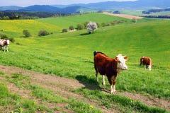 krów paśnika wiosna zdjęcia royalty free