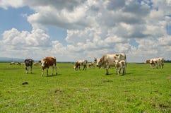 Krów pasać Obraz Stock