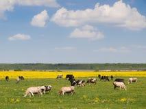 krów pola stado zdjęcie royalty free