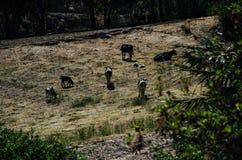 krów pola zieleń Obraz Stock