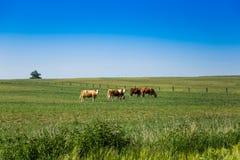 krów pola zieleń Fotografia Royalty Free