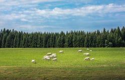 krów pola zieleń Zdjęcia Royalty Free