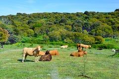 krów pola zieleń Zdjęcia Stock