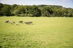 krów pola zieleń Obrazy Royalty Free