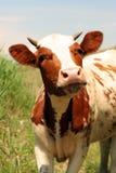 krów potomstwa Zdjęcie Stock