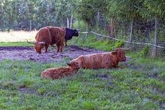 krów średniogórza scottish Zdjęcia Royalty Free