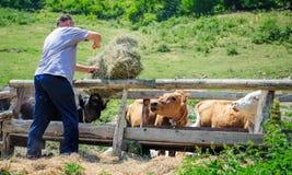 krów rolnika karmienie Obrazy Stock