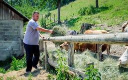 krów rolnika karmienie Zdjęcie Stock