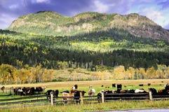 krów spadek pole Zdjęcie Royalty Free