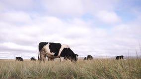 Krów spojrzenia w kamerę zawodnik bez szans zbiory wideo