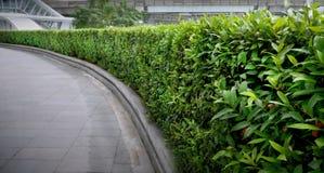 Krökt Bush staket Along gångbanan arkivfoto