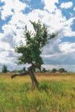 Krökt förgrena sig träd som ser som en rinnande man arkivbilder