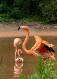 Krökt hals-flamingo på sidan av damm-Phoenicopteridaen royaltyfri fotografi