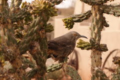 Krökt räkninghärmtrast i kaktuns Royaltyfri Foto