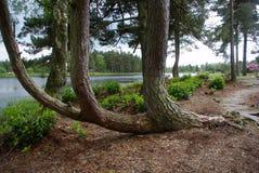 Krökt tree Fotografering för Bildbyråer
