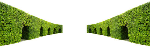 Krökt vägg av den gröna häcken Royaltyfria Bilder