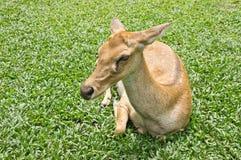 Krön-antlered hjortar Arkivfoton