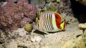 Kröna butterflyfish Arkivfoto