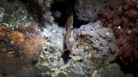 Kröna butterflyfish Arkivbild