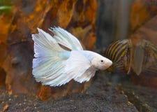 Kröna svansKamp-fisken, den CrownTail kampfisken, en sötvattens- akvariefisk Royaltyfri Bild