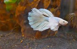 Kröna svansKamp-fisken, den CrownTail kampfisken, en sötvattens- akvariefisk Royaltyfria Foton