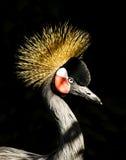 krönad afrikansk kran Arkivfoton
