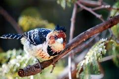 krönad barbetfågel Royaltyfri Bild
