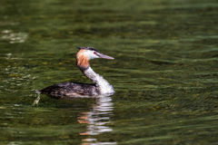 Krönad dopping för simning en utmärkt & x28; podicepscristatus& x29; Royaltyfria Bilder