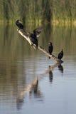 krönad dubbel phalacrocorax för auritus cormorant arkivfoton