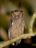 krönad ecuador owl Royaltyfri Foto