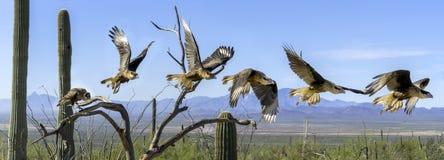 Krönad följd Flyiing för panorama för CaracaraCaracara cheriway i den Sonoran öknen royaltyfri bild