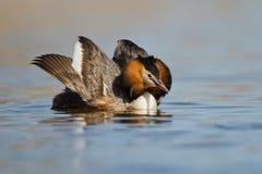 krönad för doppingpodiceps för cristatus stor waterbird royaltyfria bilder