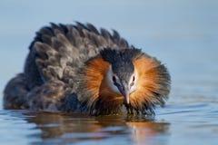 krönad för doppingpodiceps för cristatus stor waterbird royaltyfria foton