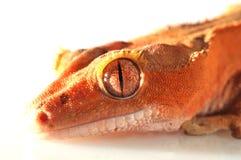 krönad gecko royaltyfri foto
