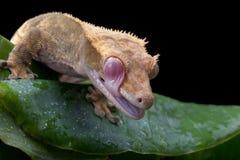 krönad gecko Arkivfoton