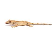 krönad gecko royaltyfri bild