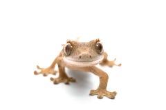 krönad gecko Royaltyfria Bilder