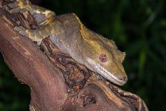 krönad gecko Fotografering för Bildbyråer