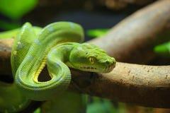 krönad gecko Arkivbild